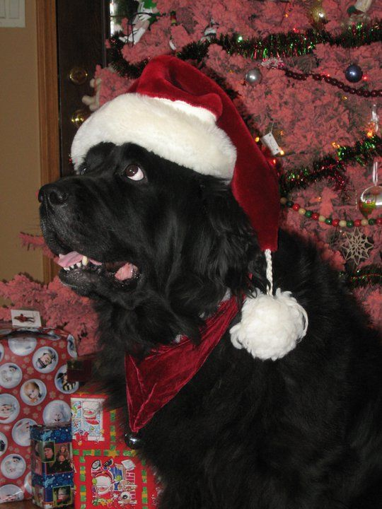 It's a Newfie Christmas