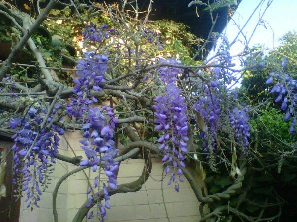 Wisteria...the reason I bought this house...a heavenly smell!!