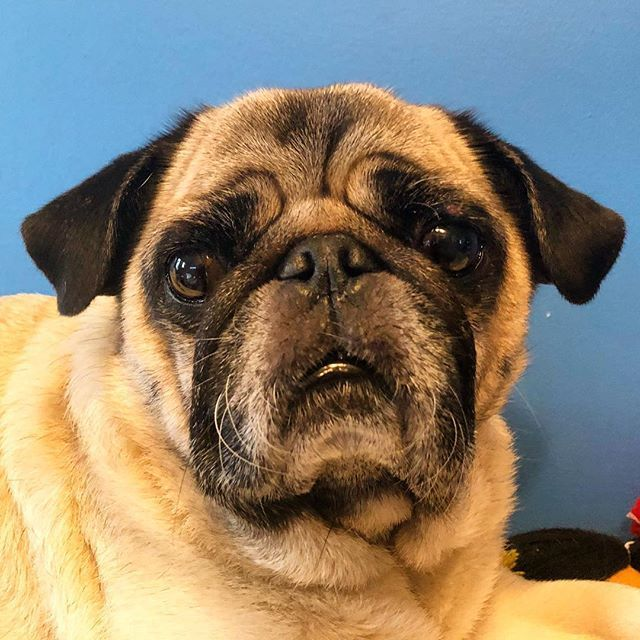 The Angelina Jolie Of The Pug World Look At Those Lips Not