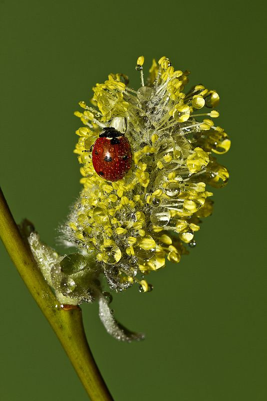 ladybird on a spring blooming pussy willow