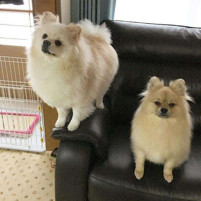 お気に入りの場所💕 #愛犬 #レオ #マックス #ポメラニアン #ポメラニアン部 #超かわいい#いやしわんこ  #ウルフセーブルポメラニアン  #ホワイトクリームポメラニアン  #もこもこ #もふもふ #ふわふわ  #小田和正さん大好き💕