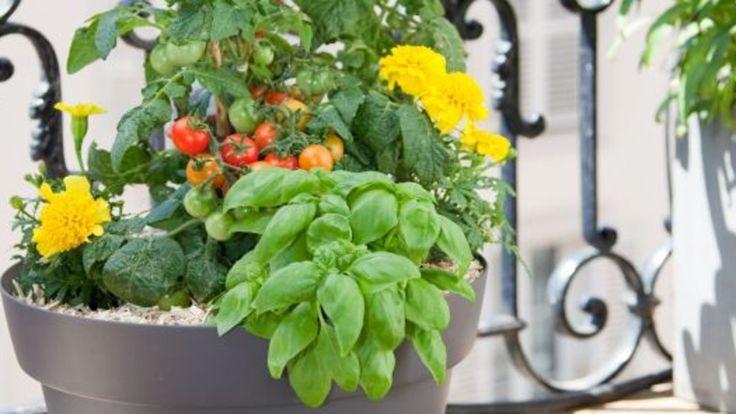 Sur un balcon en ville ou sur une terrasse, on vous montre comment planter des tomates cerises en pot pour une composition végétale jolie, parfumée et délicieuse !