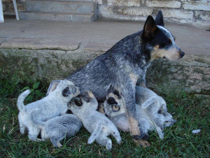 Australian Cattle Dog - Boiadeiro Australiano | Filhotes à venda ...