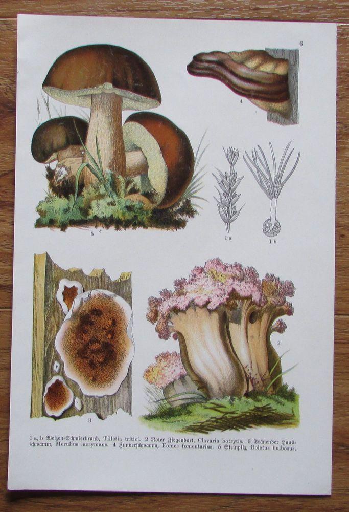 Botanischer Druck - Pflanzen Botanik Druck Atlas des Pflanzenreichs ca. 1920 6
