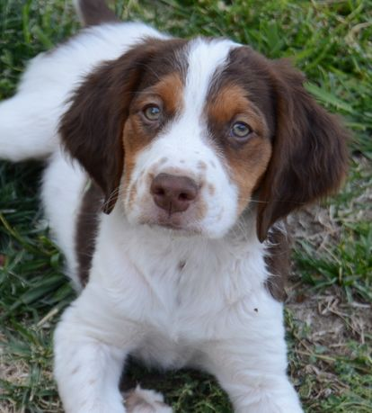 Tri-Color Male Brittany born 4/16/13 - American Brittanys in Ardmore, Oklahoma - Alar Brittanys - Gun Dog Breeder Classified Ads