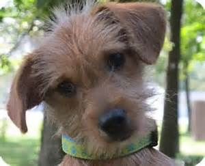 Dachshund yorkie Terrier Mix Dogs - Bing Images | Wow ...