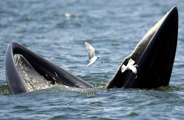The Natural World: September - The Big Picture - The Boston Globe - A Bryde's whale and seagulls feast on anchovies in the Gulf of Thailand, Sept 9. An estimated population of 30 to 35 Bryde's whales are commonly seen along the upper Gulf of Thailand coastlines, between March and October. The Bryde's whale is listed in the Convention on International Trade in Endangered Species of Wild Fauna and Flora (CITES) which prohibits international trade of any parts of the animal. (Rungroj…