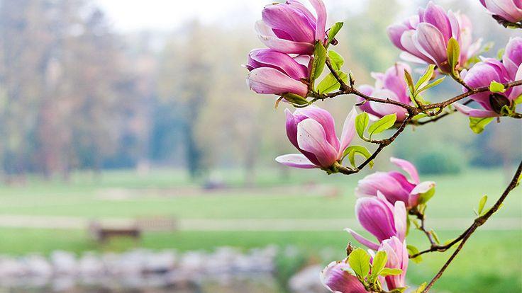 Gyönyörű kert - 3 csodálatos tavaszi virág http://www.nlcafe.hu/otthon/20150324/kert-viragok-tavaszi-viragok-lilomfa-langvirag-meteng/