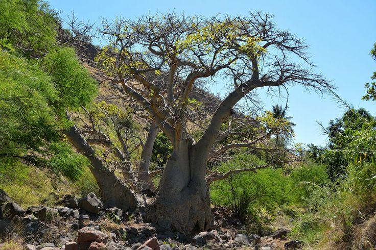 Very old tree, Caminho do Vale de Ribeira Grande de Santiago, Cidade Velha, Cape Verde