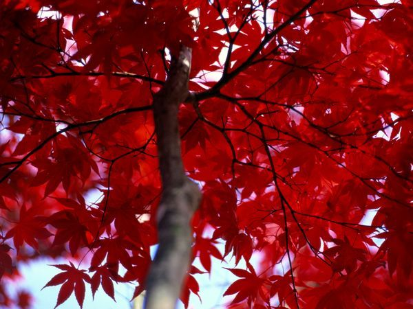 """A Maryland maple tree shows off the flaming foliage beloved by """"leaf-peepers."""" Experts say most people judge the quality of each autumn's foliage by the prevalence of red leaves."""