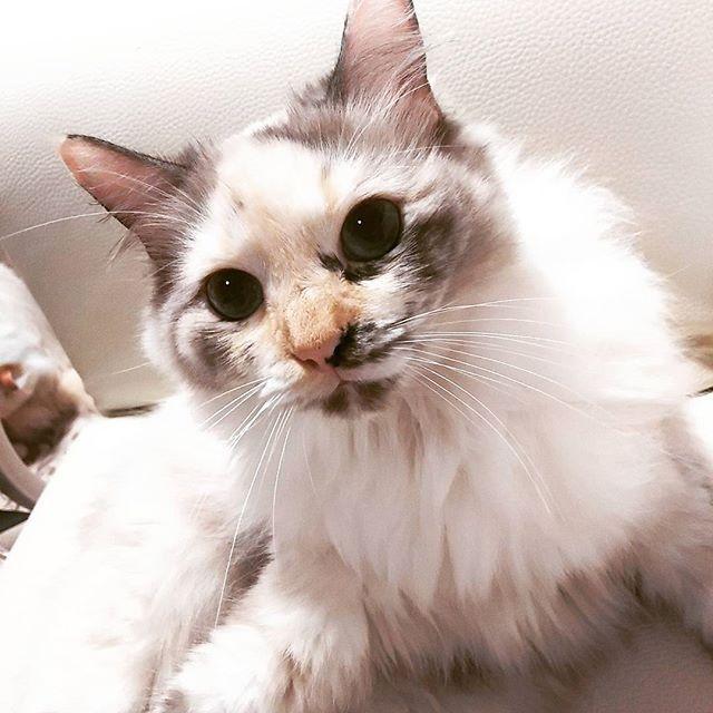 #髭祭  行く気満々✨つぼみちゃん😹 おはよー❣❣ インスタ不具合でキャプション 全部消えて萎え萎えww  マイナス➖6度の寒すぎな朝😖😖 お仕事組もお休みの方も✨ 皆様素敵な日曜日をー(^_^)v  #ねこ#猫#ネコ#ねこら部#cat#catlover#catssofinstagram#mixcat#munchkin#ragdoll#norweigan#にゃんだふるらいふ#にゃんすたぐらむ#猫のいる暮らし#猫の多頭飼い#猫と暮らす#愛猫#猫好き#ミックス猫#マンチカン#ラグドール#ノルウェージャン#クウォーター#複雑柄#モテ女子継続中#最近は大福までが狙ってる#でも大福とつぼみのお父さんは一緒#おはよう