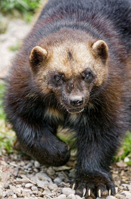 "Wolverines:  ""Approaching #Wolverine,"" by Tambako the Jaguar, on Flickr."