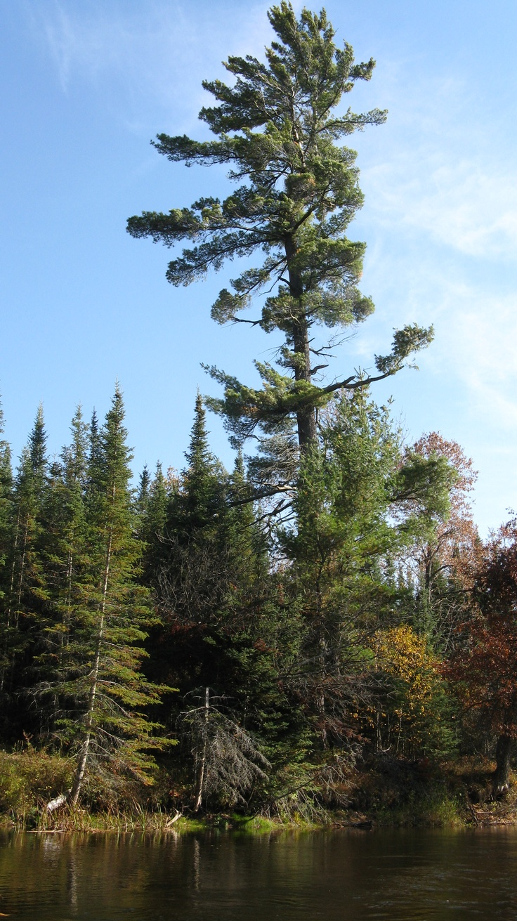 White pine along the AuSable River