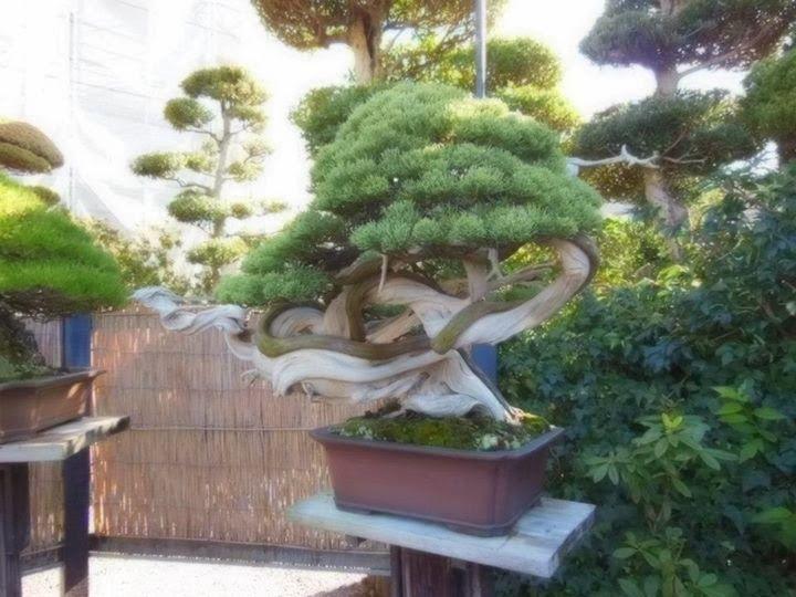 Masahiko Kimura Bonsai   Masahiko Kimura'nın bazı Bonsai ağaçları: