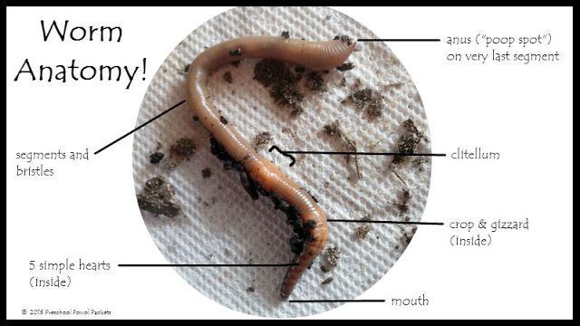 Worm Anatomy Science for Preschoolers! | Preschool Powol Packets