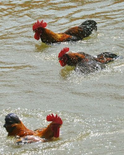 400 best images about colorful roosters on pinterest for Swimming chicken