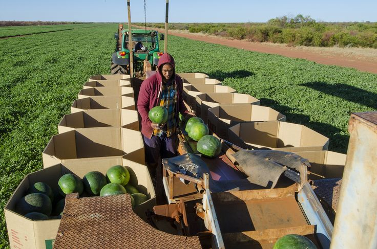 Luke taps the watermelons to check quality and packs them accordingly at Shelamar Station, Australia. Photography by Dan Wood