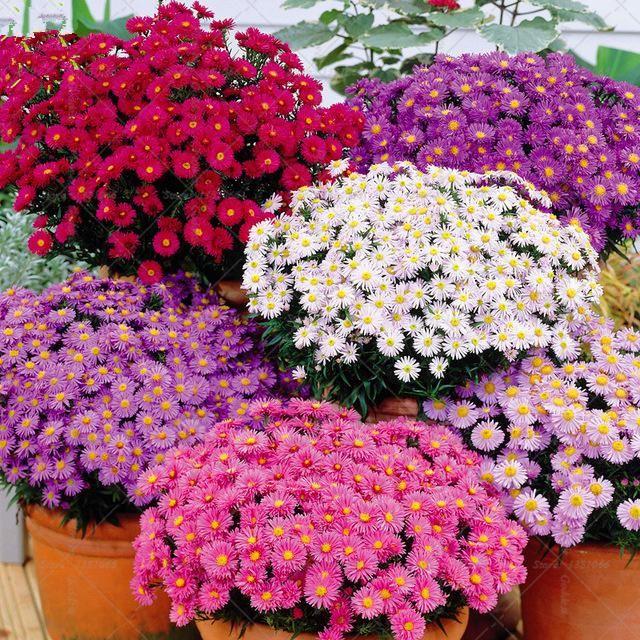 Bonsai 100pcs Mixed Aster Flower Rainbow Chrysanthemum Flowers For Home Garden Decoration Yesterday S Price Cottage Garden Plants Garden Supplies Flower Seeds