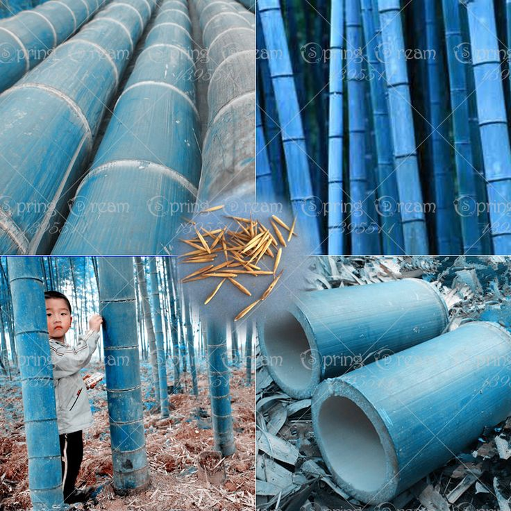 40 unids/bolsa rare azul semillas de bambú, jardín decorativo, plantador de hierba semillas de árboles de bambú para el jardín de diy enviar regalo