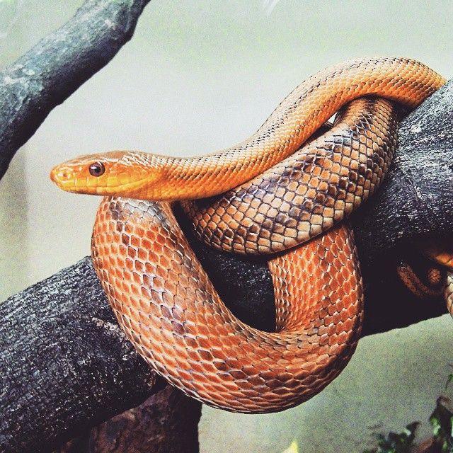 Zoológico de São Paulo #concursoloucospelavidaselvagem  #loucospelavidaselvagem #serpente #reptilia #zoologico reptilia,#zoologico,#concursoloucospelavidaselvagem,#serpente,#loucospelavidaselvagem