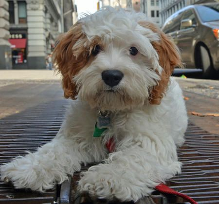 Cavalier King Charles Spaniel / Poodle Mix.