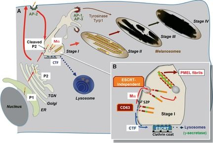 Figure 5: PMEL trafficking to stage I and II melanosomes.