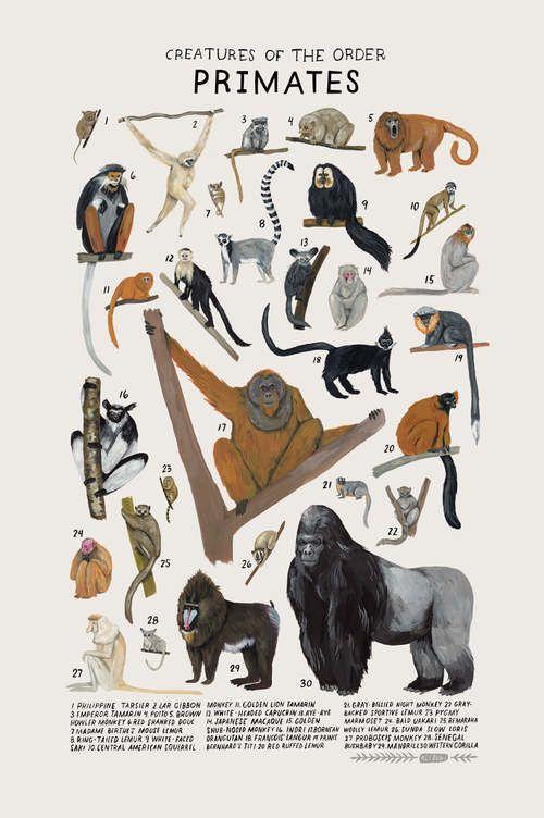 Criaturas de la Orden Primates, 2017. Lámina de una ilustración por Kelsey Oseid. Este cartel crónicas 30 lémures, monos, monos y más de la orden taxonómica Primates. Medidas de impresión 12 x 18 pulgadas. Impreso en Minneapolis en ácido libre 80# cubierta Mohawk extrafino. Envasados laminado con papel kraft en un tubo protector.