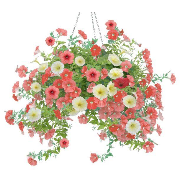 Petunia Varios colores. Planta de sol. Riego diario. Maceta grande 25 cm diámetro.