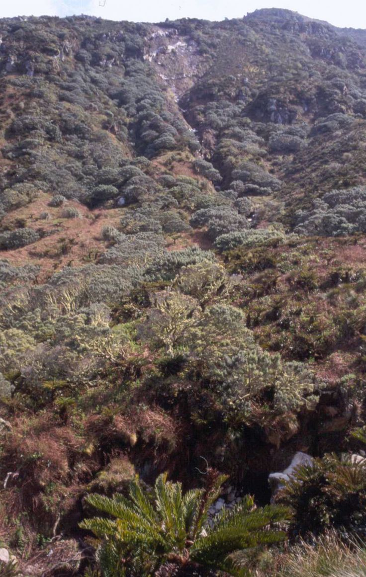 The fern Blechnum and tree Phylica on Gough Island