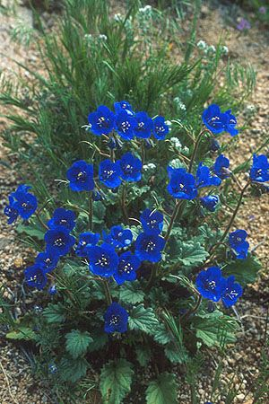 california native flowering plants   Erythronium californicum is a species of flowering plant in the family ...