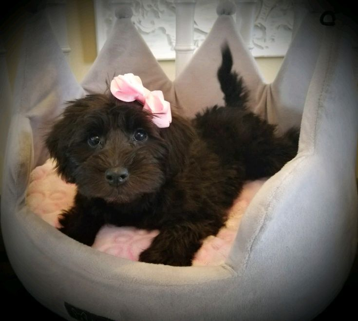 Miniature Schnoodle Puppies Dogs Puppies For Rehoming Stratford Kijiji Schnoodle Puppy Miniature Schnoodle Schnoodle