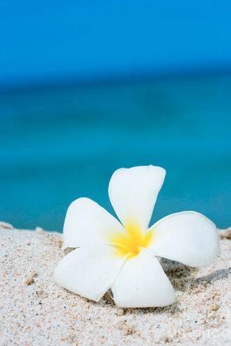 Tiare flower on the sand, Hawaii
