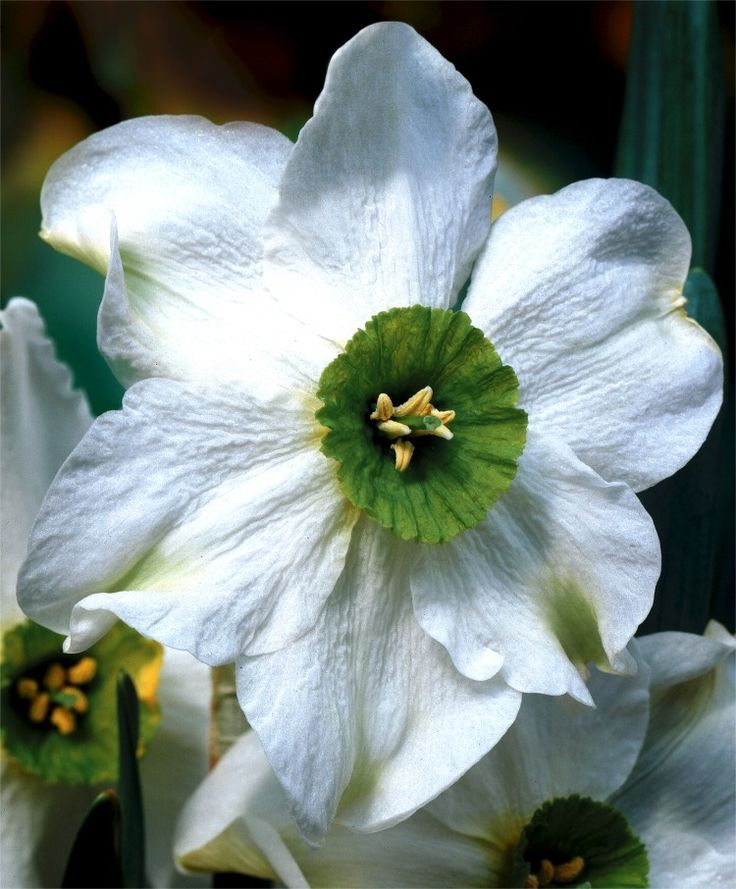 Narcissus Sinopel - Small Cupped Narcissi - Narcissi - 10