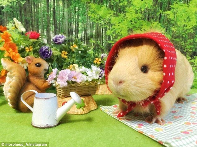 Cute: Guinea pigs are popular pets in Japan, where space is tight and many people live in apartments