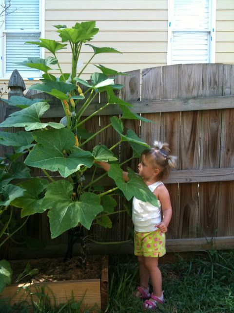 Growing squash and zucchini plants vertically (sounds fun.  I may have to try this. )