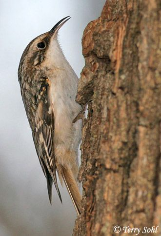brown creeper coloring pages - photo#8