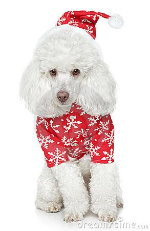 White toy poodle Merry Christmas Card Puppy Holiday Dogs Santa Claus Dog Puppies