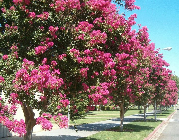 My Mom has thrlese down the driveway and they are absolutely gorgeous ! Myrtle Tree | Crape Myrtle Trees