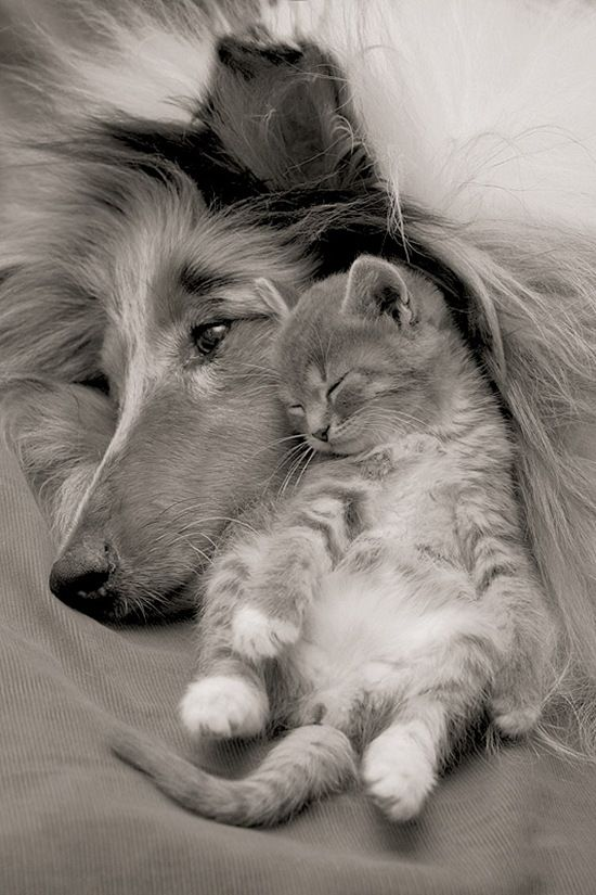 Collies and kittens. You just can't go wrong. Good picture!