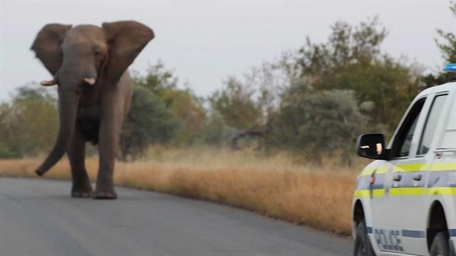 Elephants are known to engage in play with other species, and this elephant is no exception.