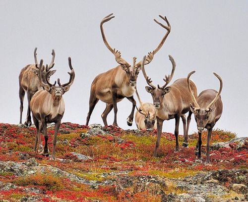 Come see the Great Summer Caribou Migration at the remote wilderness of Nunavik in Canadas Far North! The Leaf River herd is the largest free-roaming caribou remaining in Canada. Every summer hundreds of thousands of these animals migrate from their tundra calving grounds southward to their wintering area in the tree line. Traveling with Inuit guides up a remote Arctic river Great Canadian Wildlife Adventures will set up camp at a major water-crossing and commence on a great wildlife…
