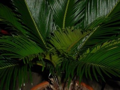 Sago Palm Fronds: Information On Sago Palm Leaf Tips Curling - It isn't a true palm, but sago palm fronds resemble those of palm trees, and caring for a sago palm is similar to caring for a true palm. Sago palm leaf tips curling is a sign of stress and its causes can be found here.