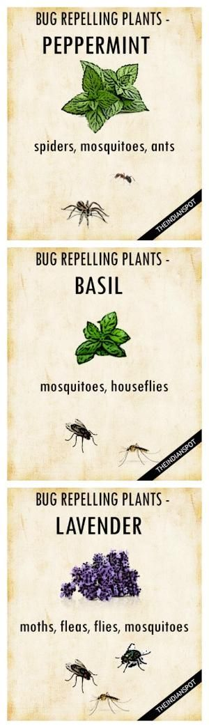 PLANTS THAT KEEP BUGS AWAY More by bettye