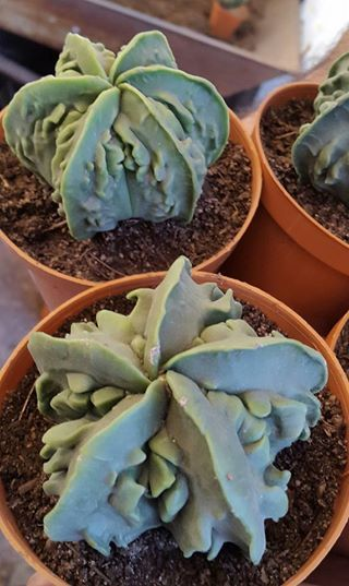 Astrophytum Myriostigma Fukuryu.
