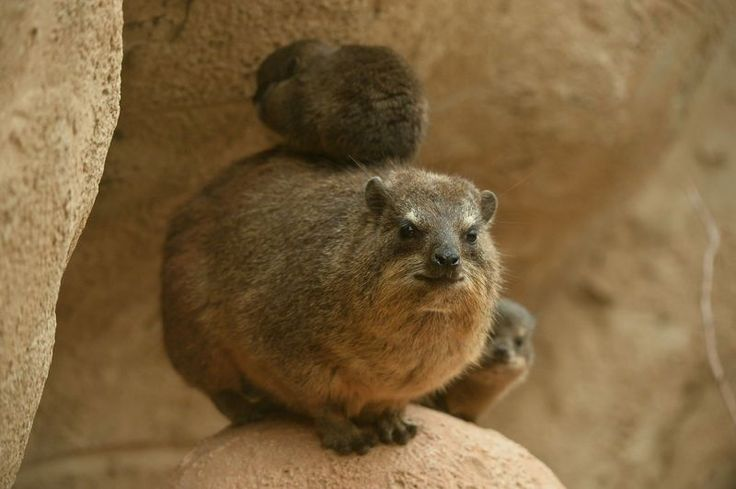 Four baby Rock Hyraxes have been born at Chester Zoo, in the UK. The tiny quartet arrived on July 25, after a seven-month gestation, weighing just a few ounces.