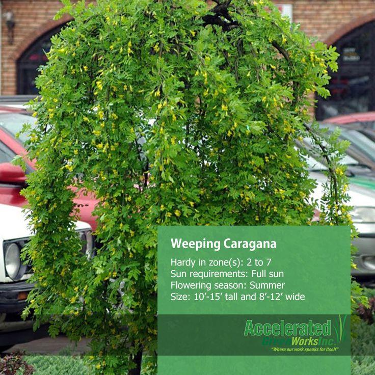 Weeping Caragana Trees Pinterest