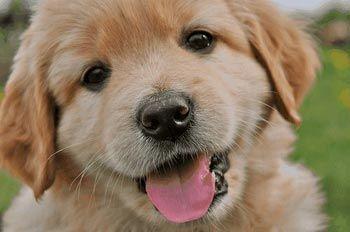 Как кормить щенка и чем кормить щенка? Питание натуральными продуктами.