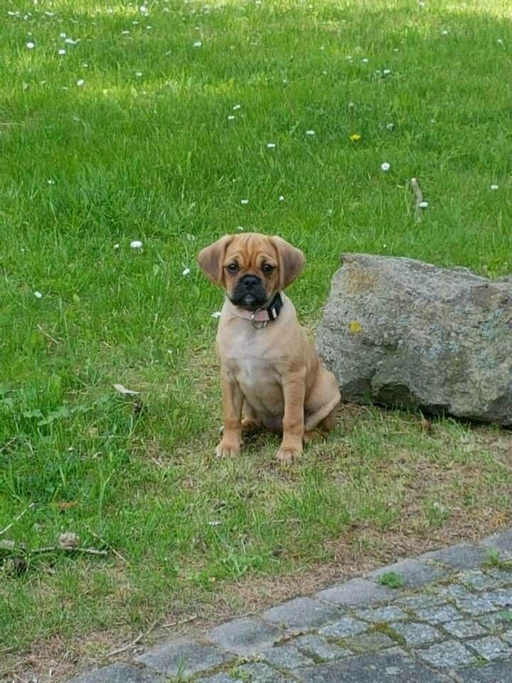 Mops Cavalier Mix Tiere Hunde