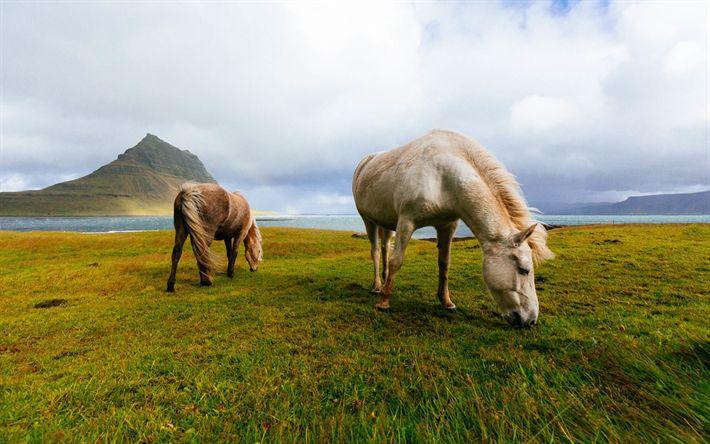 Download wallpapers Icelandic Horse, wildlife, horses, grassland, Iceland