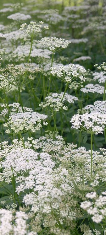 Cow Parsley is in season in #April and is great to gather from hedgerows and place next to your fireplace to give it a summery feel